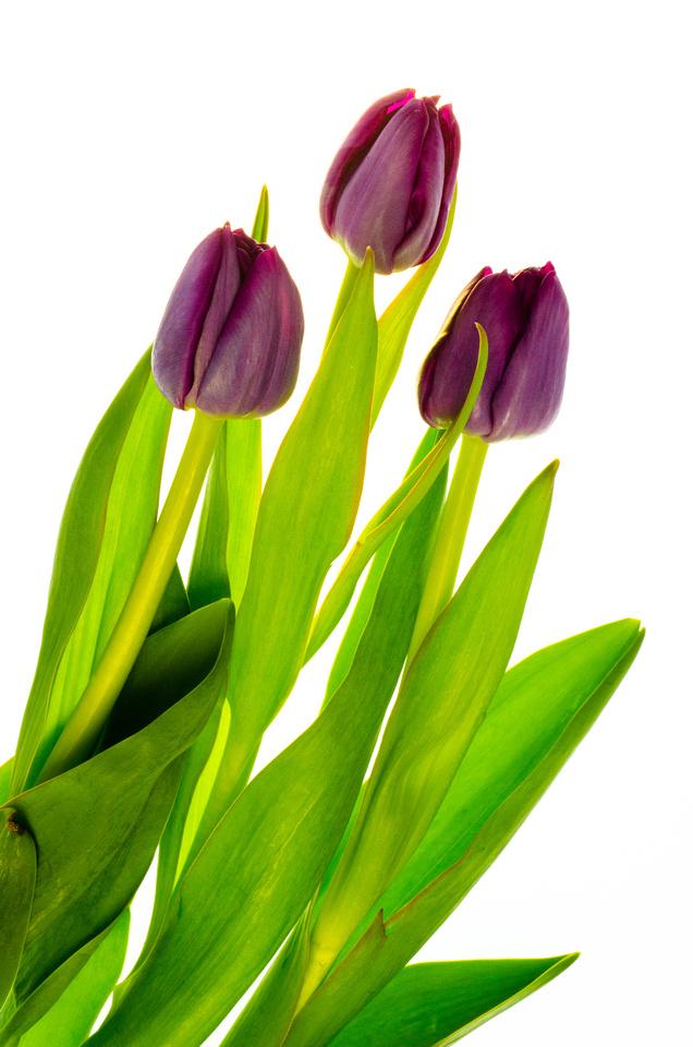 Purple Tulip - Three